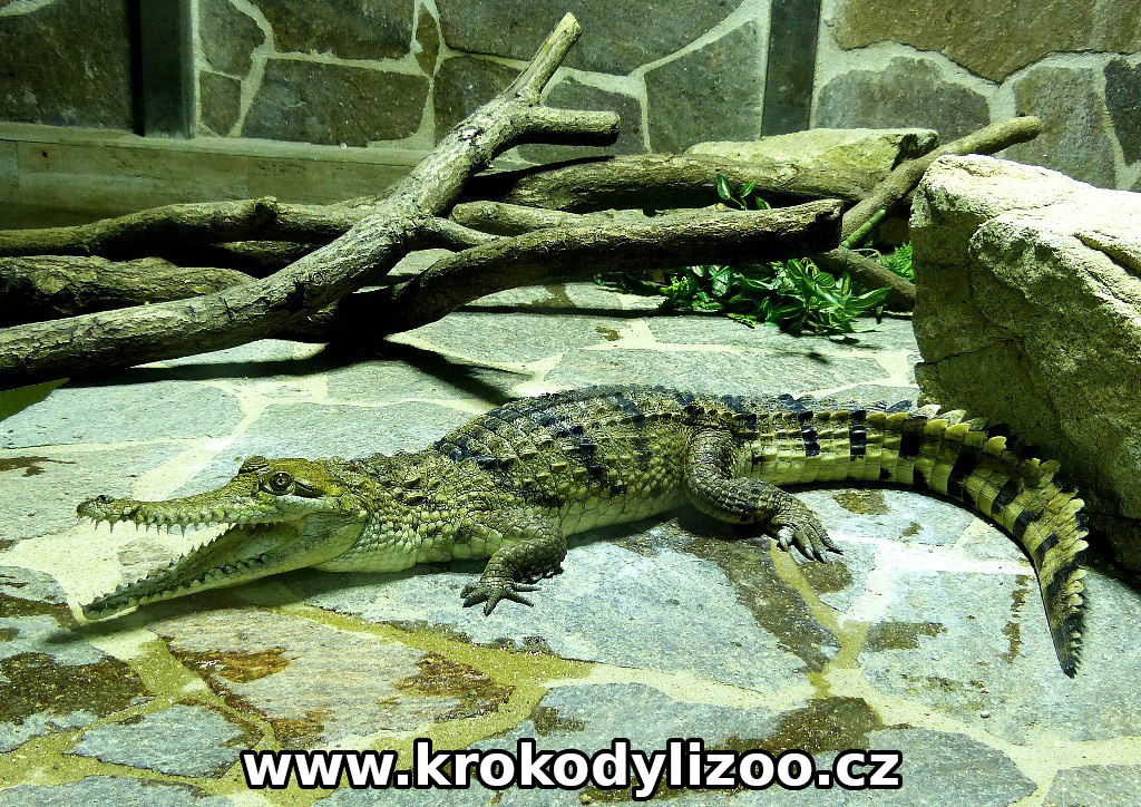 Crocodylus Johnsonii v Krokodýlí ZOO Protivín