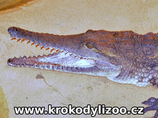 Krokodýl Johnsonův (Crocodylus johnsoni)