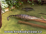 Krokodýl Johnsonův (crocodylus johnsoni), Zoo Frankfurt